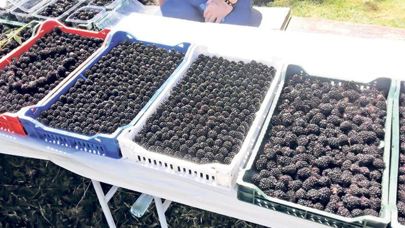 Odličan kvalitet plodova kupine (Foto: M. Ristivojević)