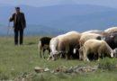 Srećko čeka stotu čuvajući ovce